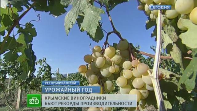 Крымский виноград побил все рекорды урожайности