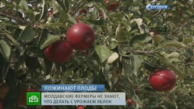 Молдавские фермеры несут колоссальные убытки из-за санкций
