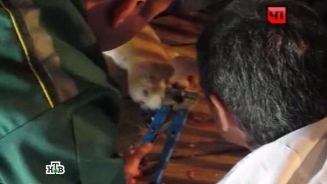 В Калининградском зоопарке тигру сделали маникюр: видео