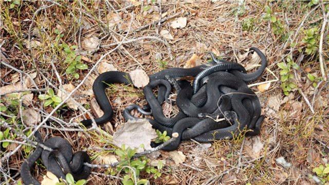 Жители Сургута жалуются на нашествие змей