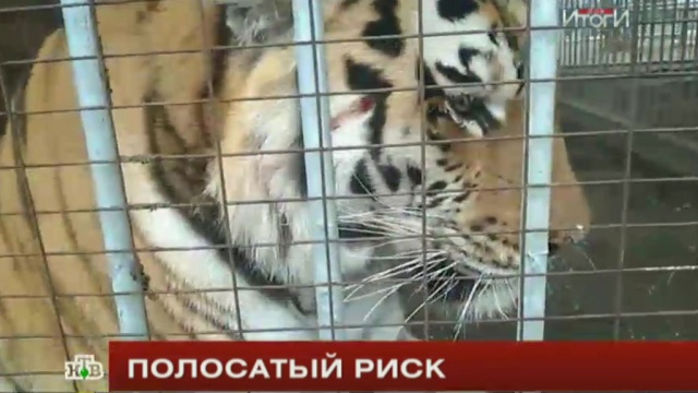 Blood bitten by a tiger, the girls find alcohol
