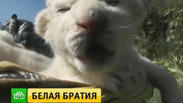 В крымском сафари-парке родились львята-альбиносы