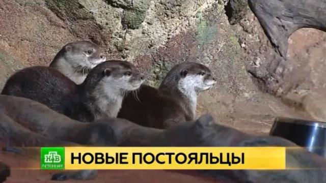 В петербургском океанариуме поселились самые маленькие и драчливые выдры