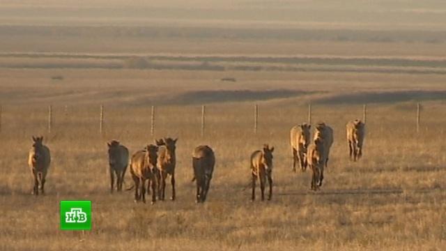 Дареные кони: лошади Пржевальского обживаются на исторической родине