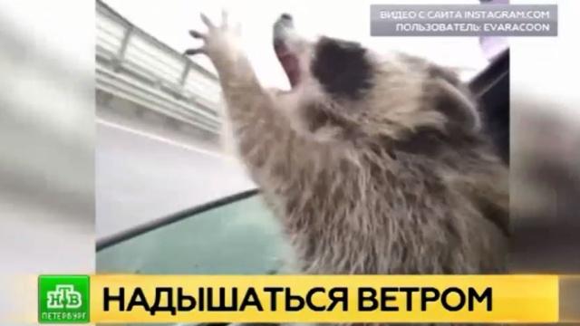 Петербуржцев умиляет ловящая дождь енотиха Ева