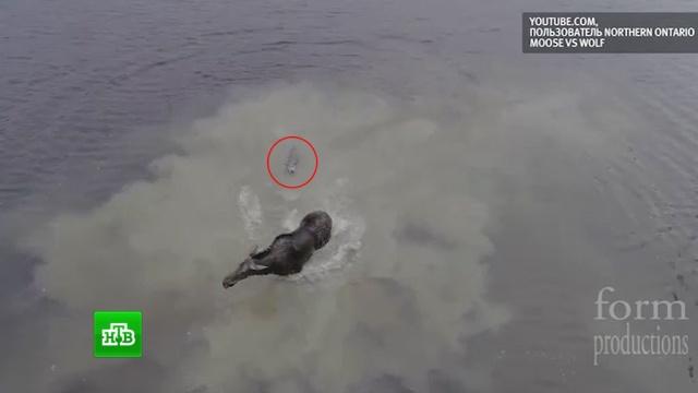 Лось отбился от напавшего на него волка: видео