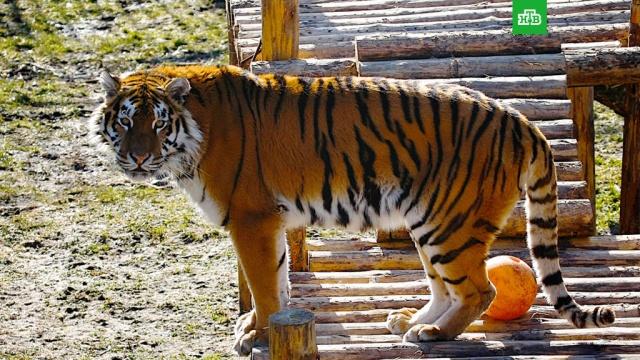 гости зоопарка калининграде спасли сотрудницу тигра забросав зверя