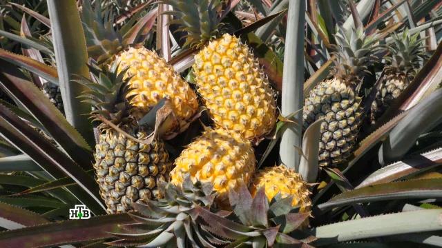 ананасы секреты выбора употребления