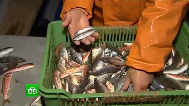 В Севастополе добыли рекордное количество черноморских деликатесов за сезон