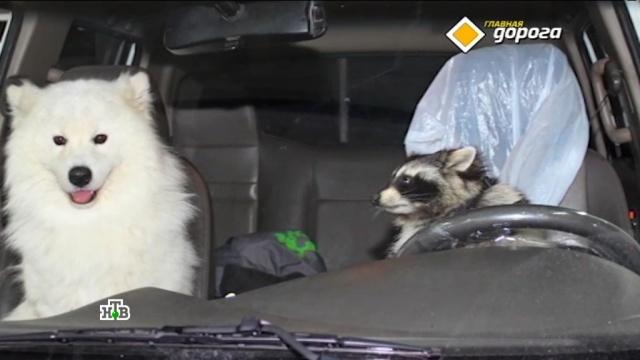 Красноярские гаишники призвали на помощь енота и лайку