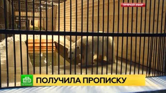 Петербургские вольеры начала обживать якутская Снежинка