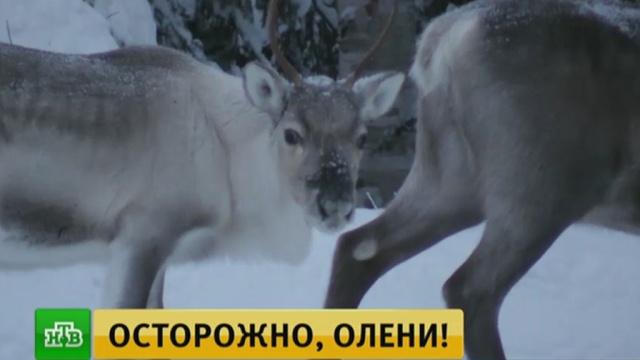 В Финляндии выпустили приложение для отслеживания оленей на трассах