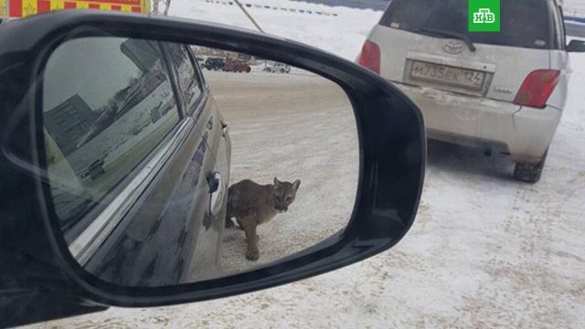 В Красноярске пума сбежала из цирка и напала на девушку