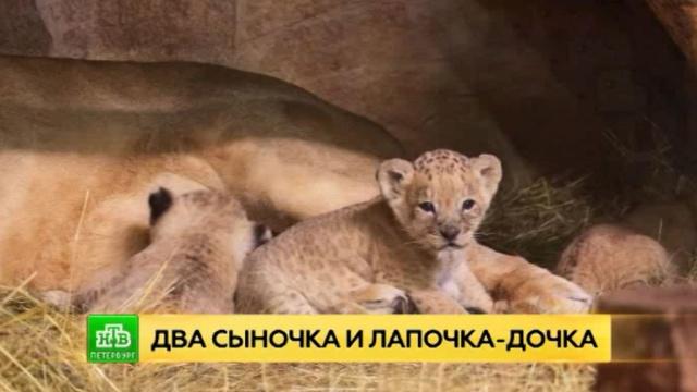 Петербуржцев просят придумать имена для маленьких львят