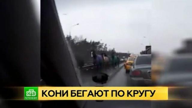 В пробке под Петербургом заметили табун лошадей