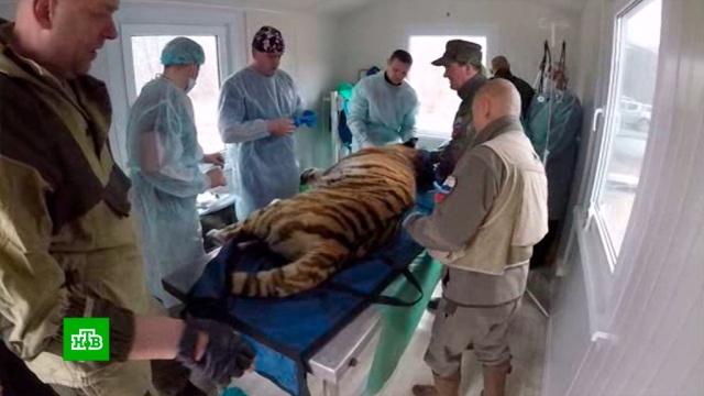В Приморье сделали еще одну операцию раненной браконьерами тигрице