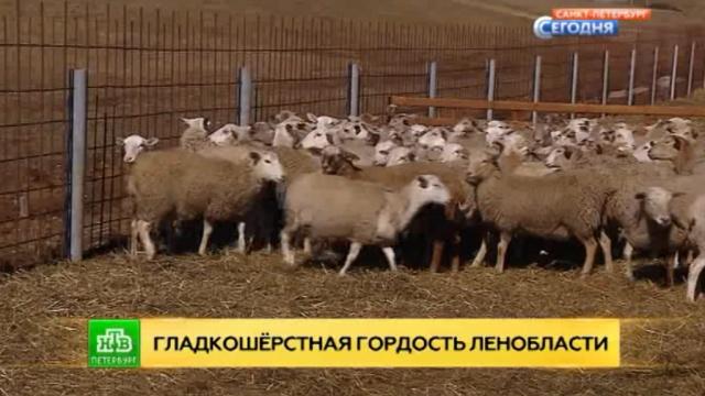 В Ленобласти впервые за 300 лет вывели новую породу овец