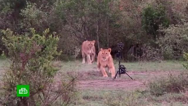 В Кении львица стащила камеру у телеоператора и сняла свой побег от журналистов