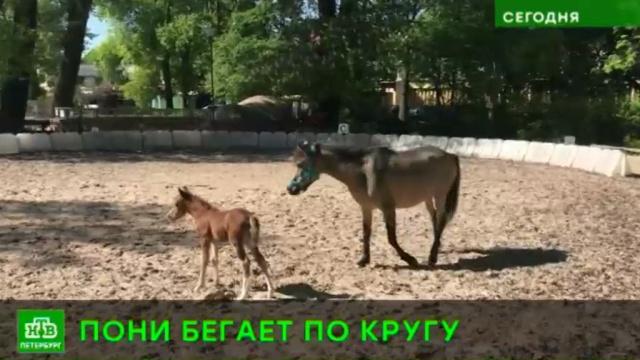 сотрудников ленинградского зоопарка очаровал энергичный новорожденный пони