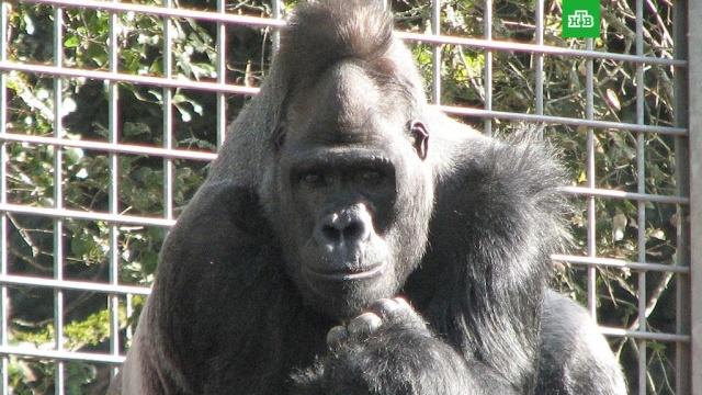 В Калифорнии умерла говорящая горилла Коко