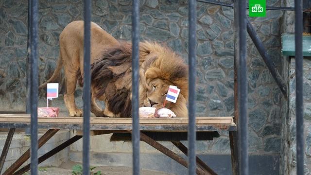Сахалинский лев Лорд предсказал исход матча Россия — Хорватия
