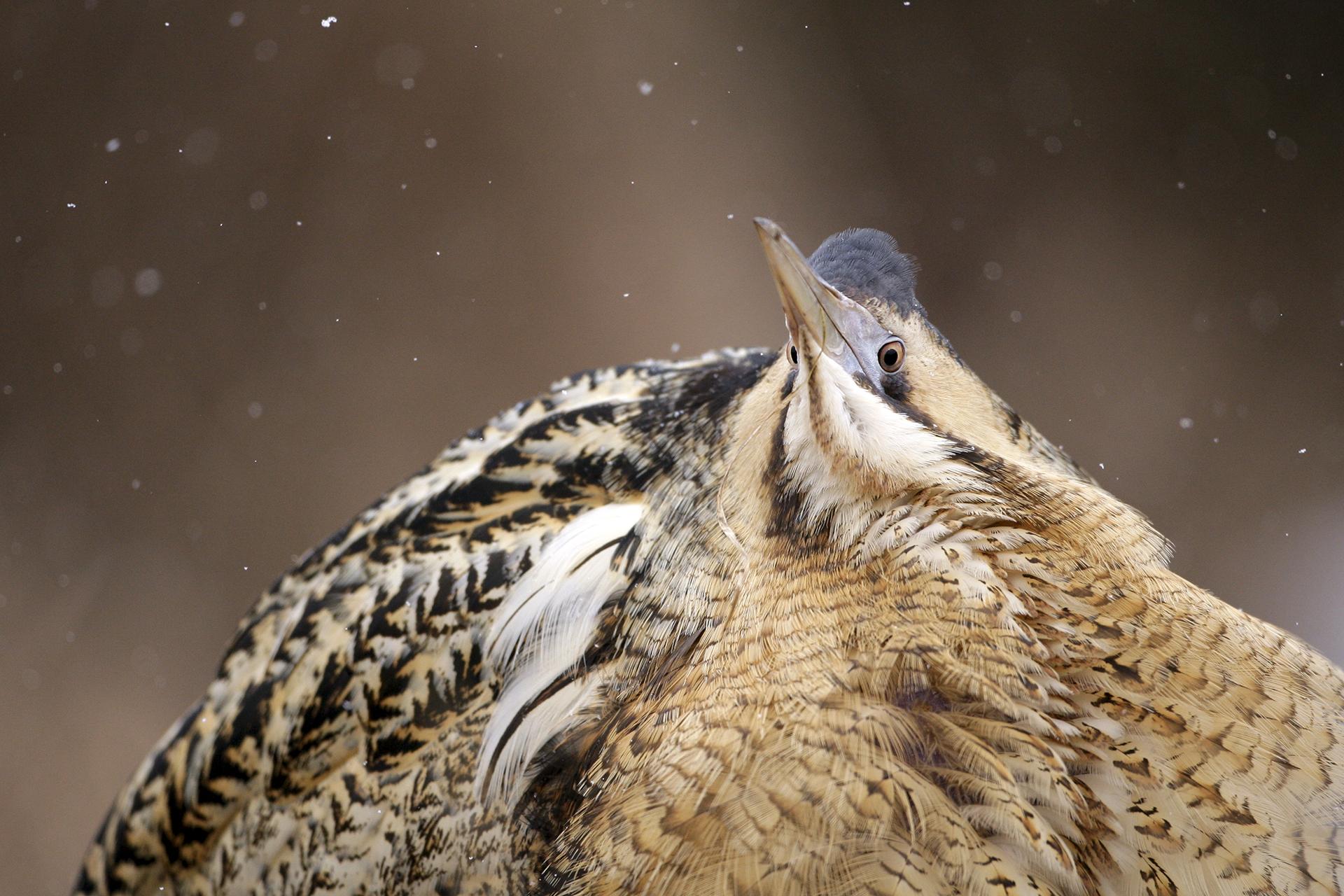 Смотреть фото птицы выпь